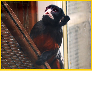 Heads Of Ayr Farm Park Red Bellied Tamarins