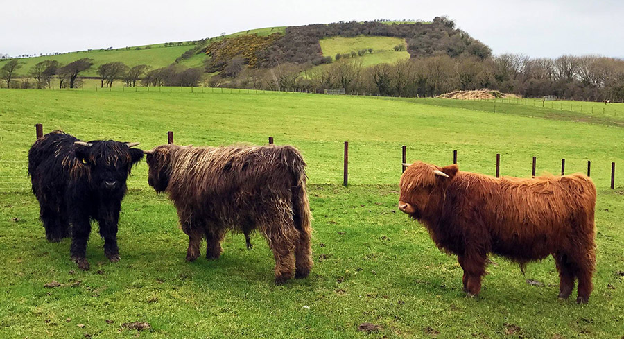 3 highland cattle in field